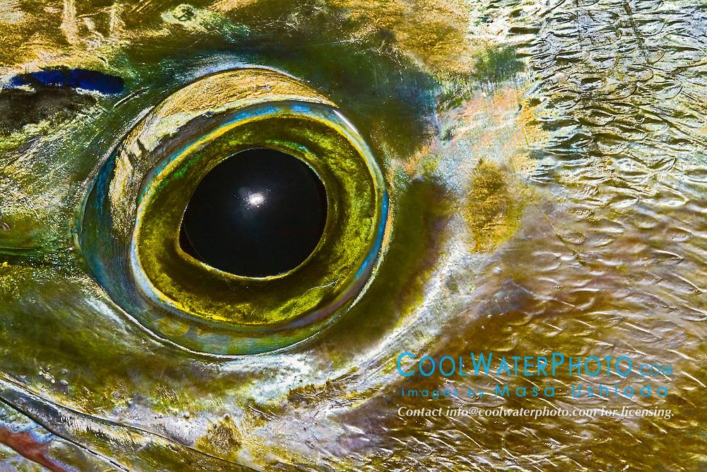 Eye of Mahi Mahi, Dolphinfish, or Dorado, Coryphaena hippurus, off Kona Coast, Big Island, Hawaii, Pacific Ocean.