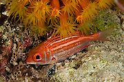 Dusky Squirrelfish (Sargocentron vexillarium)<br /> BONAIRE, Netherlands Antilles, Caribbean<br /> HABITAT & DISTRIBUTION: Shallow rocky coast and reef crests.<br /> Florida, Bahamas, Caribbean, Gulf of Mexico & Bermuda.