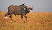 African Buffalo (Synbcerus caffer) with cattle egrets and piapica in Murchison, Uganda.