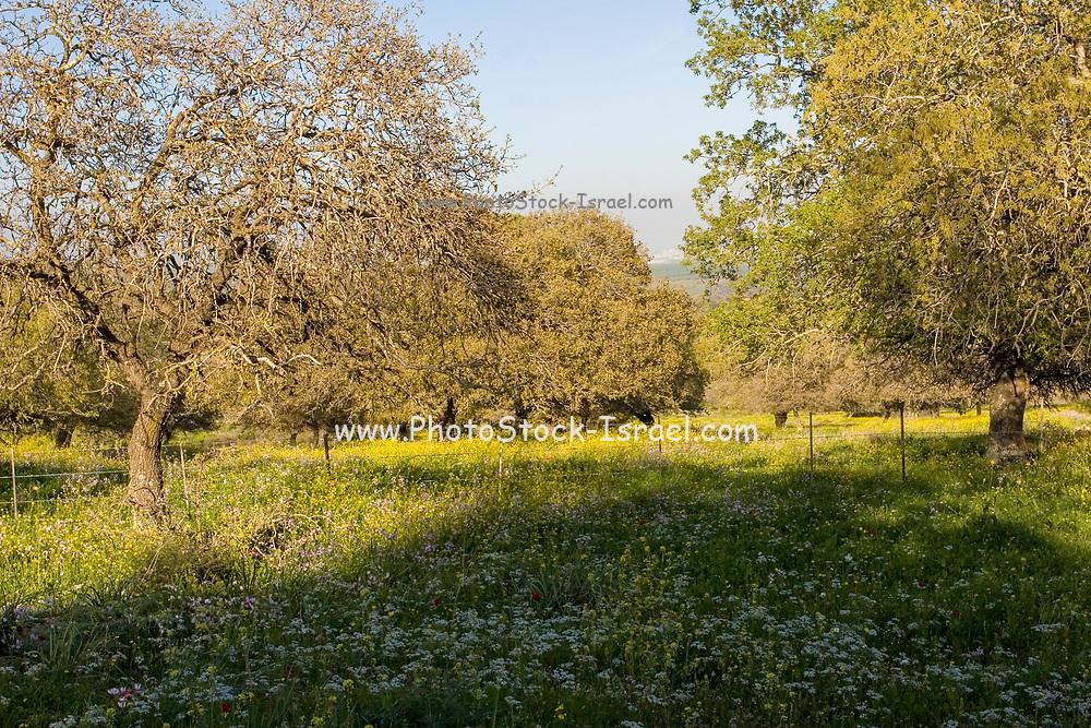 Israel, Galilee, Spring flowers blooming amongst trees