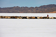 A nomad leading herd of goats and sheep over a snowy landscape in the remote Gobi Desert of Mongolia, Gobi Desert, Mongolia