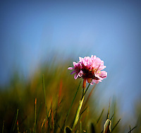 Pink Thrift on the cliffs at Freshwater Bay on the Isle of Wight