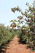 Apple Orchard at Metula Israel