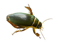 Great Diving Beetle - Dytiscus marginalis