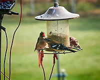 Rose-breasted Grosbeak, Northern Cardinal, House Finch. Image taken with a Nikon D850 camera and 200 mm f/2 VR lens