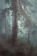 Moody misty forest scenery with a fir tree - textured photograph<br /> REDBUBBLE products: http://www.redbubble.com/people/dyrkwyst/works/21651140-misty-wilderness