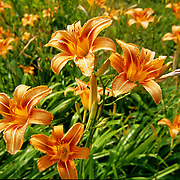 """Daylilies originate from Asia. They are a member of the Hemerocallis genus and the Hemerocallidaceaefamily. Many older works placed them Lily family known as Liliaceae.  The word Hemerocallis is derived from two Greek words meaning """"beauty"""" and """"day,"""" referring to the fact that each flower lasts only one day."""