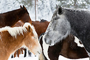 Horses along the West Fork of the Bitterroot River on a Montana winter evening.