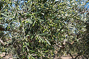 Coratina olives growing for extra virgin olive oil production at Azienda Agricola Mandranova at Palma di Montechiaro in Sicily