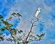 Seabirds of Long Island Sound. Egret.