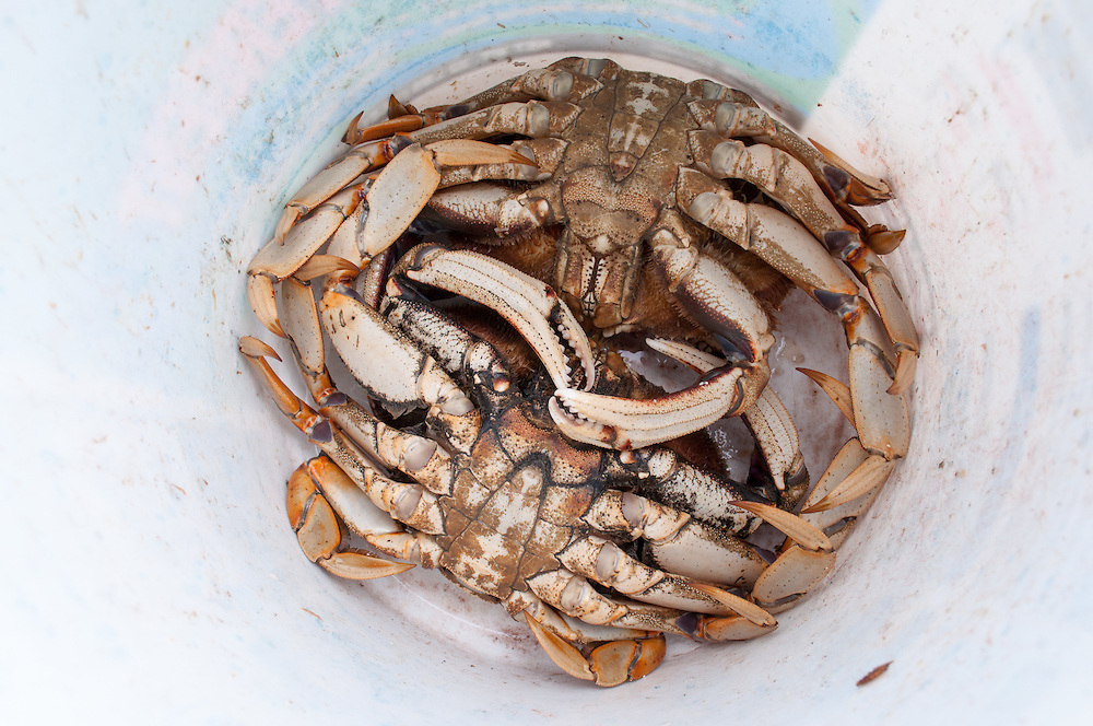 Dungeness Crab (Metacarcinus magister) caught near on Hood Canal near Brinon, Washington.