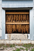 Tobacco hanging in barn