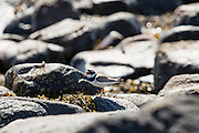 Little Ringed Plover male bird, Charadrius dubius, among seaweed and rocks on coastal seashore in Coigach region of the Scottish Highlands