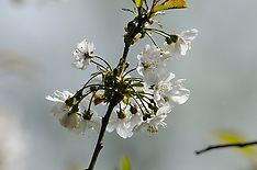 Zoete kers, Prunus avium