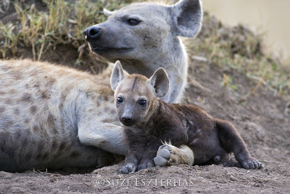 Spotted Hyena<br /> Crocuta crocuta<br /> Mother and 8-10 week old cub<br /> Masai Mara Conservancy, Kenya