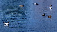 Black-headed Gull, Herring Gull, Mallard,  Peterhof, Saint Petersburg, Russia. Image taken with a Fuji X-T1 camera and 32 mm lens.