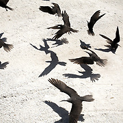 Several white-Capped Noddy, a type of tern, fly from gravel paths on Lady Elliot Island, Australia.