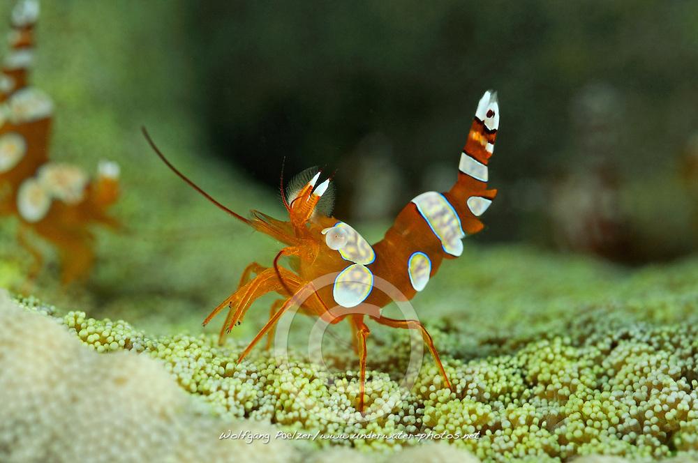 Thor amboinensis, Hohlkreuzgarnele, squat anemone shrimp, Pemuteran, Bali, Indonesien, Asien, Indopazifik, Indonesia, Indo-Pacific Ocean, Asia