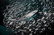 Sand Tiger shark on the shipwreck Aeolus, NC