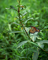 Monarch Butterfly on a Milkweed Plant. Image taken with a Leica SL2 camera and 90-280 mm lens