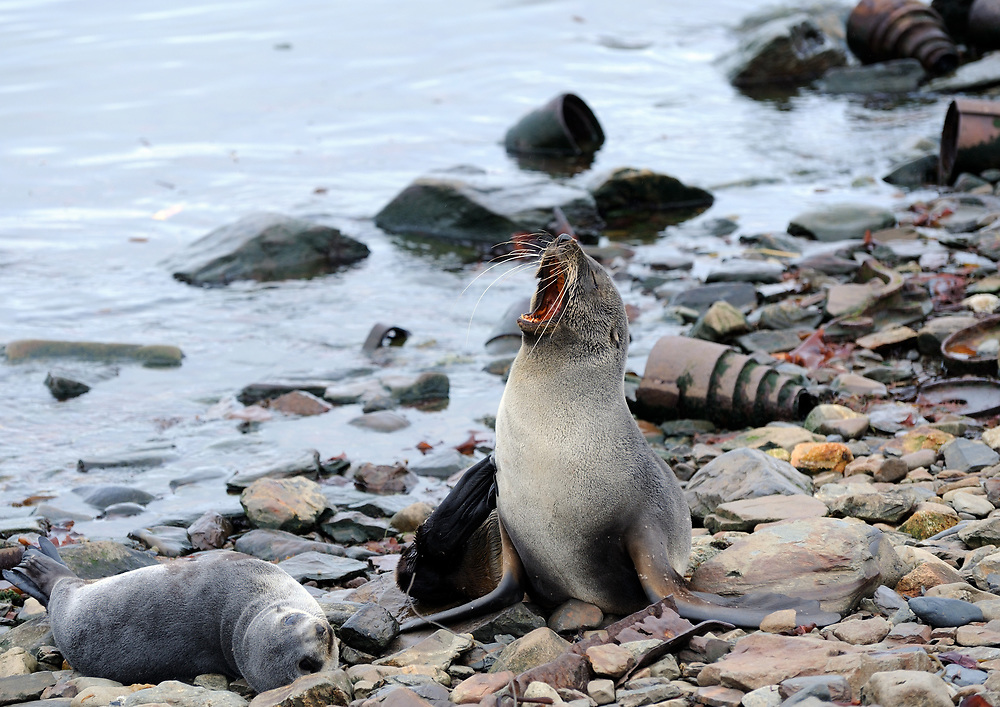 An antarctic fur seal (Arctocephalus gazella)  scratches and yawns while resting among rusting whaling industry equipment on the beach at Grytviken . Grytviken, South Georgia 20Feb16