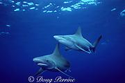 sandbar sharks, Carcharhinus plumbeus, North Shore, Oahu, Hawaii, USA ( Central Pacific Ocean )