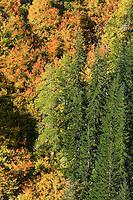 Autumn Vine Maple (Acer circinatum) and Douglas Maple (Acer glabrum douglasii) paint a steep slope along with Noble Fir (Abies procera) in Stevens Canyon, Mount Rainier National Park, Washington, USA