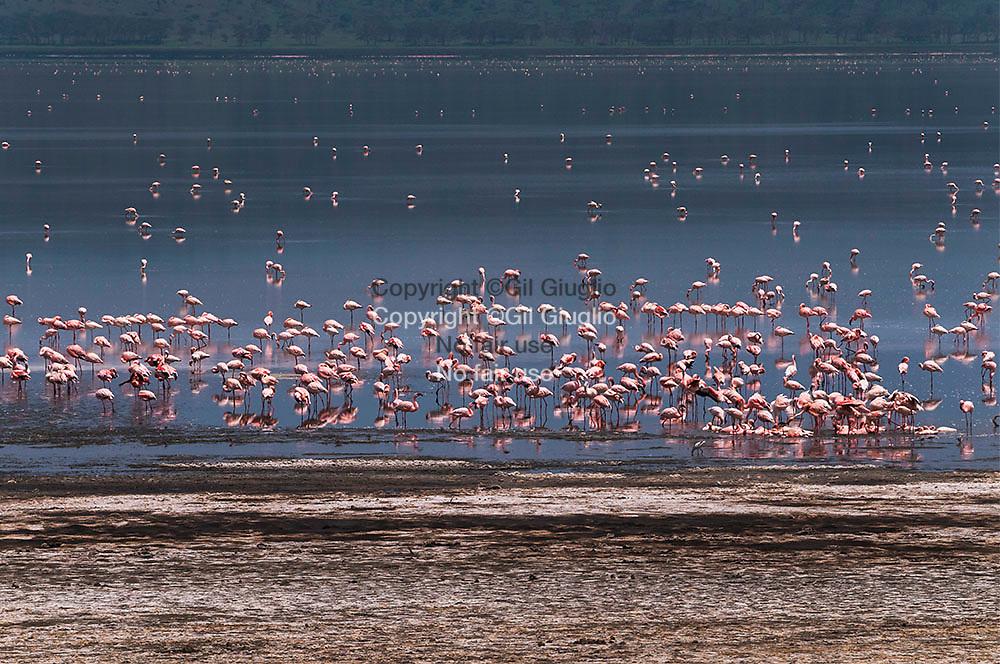 Kenya, pink flamingo on Nakuru salt lake in animals reserve
