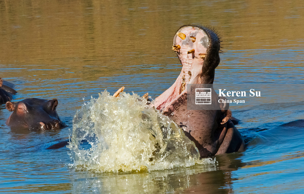 Hippos in the river, mouth wide open, Mkhaya Game Reserve, Swaziland