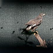 Un biancone nella riserva Wwf Valpredina...A Short-toed eagle in the Valpredina Wwf reserve.