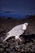 Grey Falcon, Falco rusticolus, White phase, Colorado, USA, Feeding on kill, bird of prey