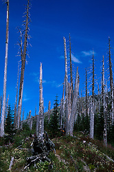 Standing Dead Trees Near Ryan Lake, Mt. St. Helens National Volcanic Monument, Washington, US