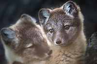 Two Arctic Fox, Vulpes lagopus, pups outside the den on Spitsbergen, Svalbard, Norway.