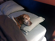 SHOT 9/18/17 6:30:40 AM - Tanner, a 12 year old male Vizsla, sleeps in a bed while staying the night at a friend's house. (Photo by Marc Piscotty / © 2017)