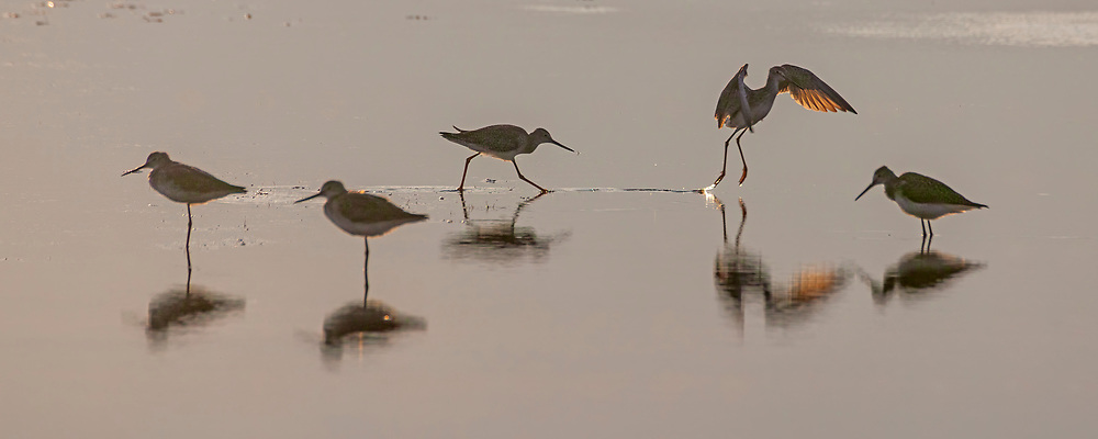 Five willets feed (Tringa semipalmata) forage in the mudflats of the Parker River National Wildlife Refuge on Plum Island in Massachusetts.