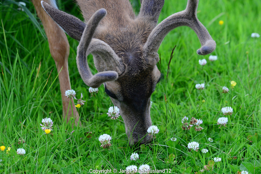 Black-tailed Deer are common on the lawns along the Inside Passage from Vancouver to Alaska. They populate the small cities where the human population is too dense to allow hunting.
