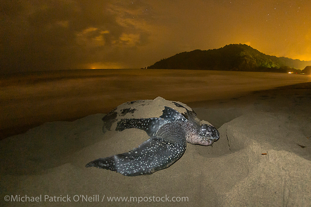 A female Leatherback Sea Turtle, Dermochelys coriacea, nests at nighttime on Grand Riviere, Trinidad, and returns to the Caribbean Sea. During peak nesting season in late May / early June, this beach will receive roughly 300 nesting Leatherback every night, making it one of the busiest and most important nesting locations in the world for the critically endangered species. Flash photography allowed with permit. Image available as a premium quality aluminum print ready to hang.