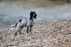 © Licensed to London News Pictures. 22/02/2015. Brighton, UK. A cold and windy day in Brighton and the South East with few people on the beach. Toby is taken out for a walk on the beach, today Sunday February 22nd. Photo credit : Hugo Michiels/LNP
