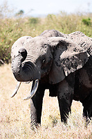 male African elephant ,Elephantidae, in the bush of the masai reserve in kenya africa