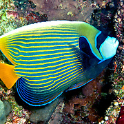 Emperor Anglefish inhabit reefs. Picture taken Halmahera Islands, Indonesia
