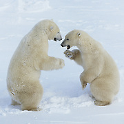 Polar Bear (Ursus maritimus) sub-adults wrestling while they wait for Hudson Bay to freeze over. Manitoba, Canada