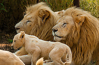 Male white lions and white lion cub, Lion Park, near Johannesburg, South Africa. The white lion is a rare color mutation of the Timbavati region of South Africa.