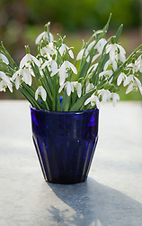 Galanthus nivalis in a blue glass. Snowdrops
