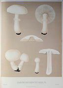 Agaricus [Psalliota] cretaceus Mushrooms, Pathogenic fungi from the book Sveriges ätliga och giftiga svampar tecknade efter naturen under ledning [Sweden's edible and poisonous mushrooms drawn after nature under guidance] By Fries, Elias, 1794-1878; Kungl. Svenska vetenskapsakademien Published in Stockholm, Sweden in 1861