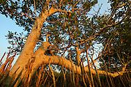 Mangrove, Avicennia sp. Pulicat Lake, Tamil Nadu, India