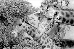 A pair of giraffes look expectantly for a treat at the Parc Zoologique de Paris in the Bois de Vincennes, Tuesday, June 10, 1984, in Paris. (Photo by D. Ross Cameron)