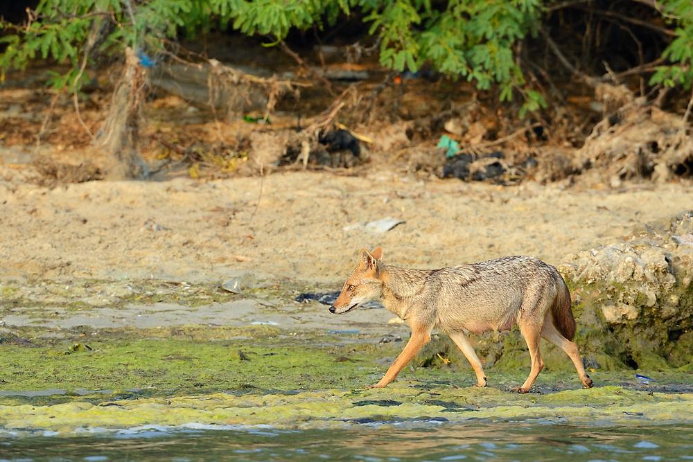 Golden jackal, Canis aureus, Pulicat Lake, Tamil Nadu, India