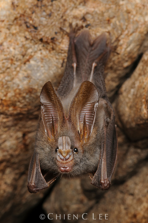 A pair of Lesser False Vampire Bats (Megaderma spasma) roosting near the entrance of a shallow limestone cave. Named because of their superficial resemblance to true vampire bats (which are restricted to Central and South America), Megaderma are insectivorous and do not drink blood. This species sometimes attains a large size (nearly 35g in weight) and is known to occasionally take more substantial prey including lizards, small birds, mammals, and even other bats. Sarawak, Malaysia (Borneo).