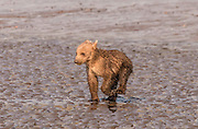 Grizzly Bear Cub Racing Through Water to Get Back to His Mother.