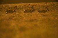 Fallow Deer (Dama dama) stags in evening light (c), Klampenborg Dyrehave, Denmark. Fenced reserve enclosure.
